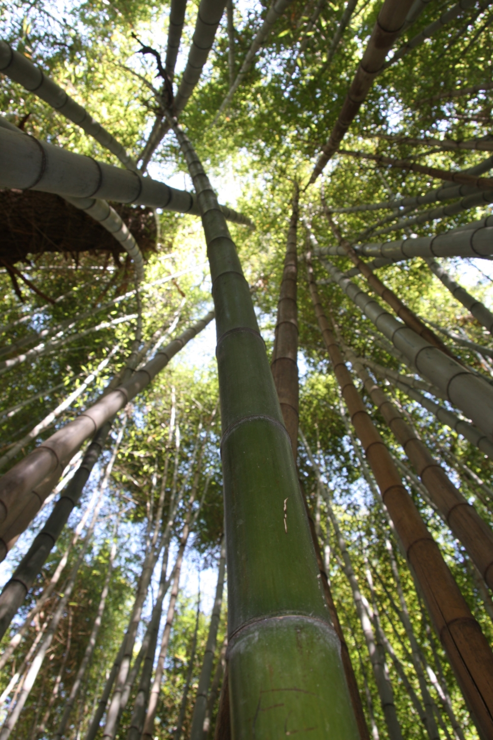 A bamboo forest; bamboo grows very fast and to great heights