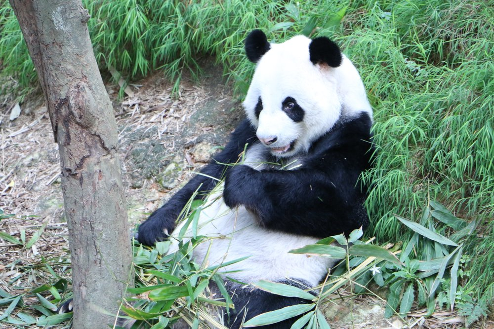 How come pandas steal hearts? A beautiful panda eating their favourite food; bamboo!