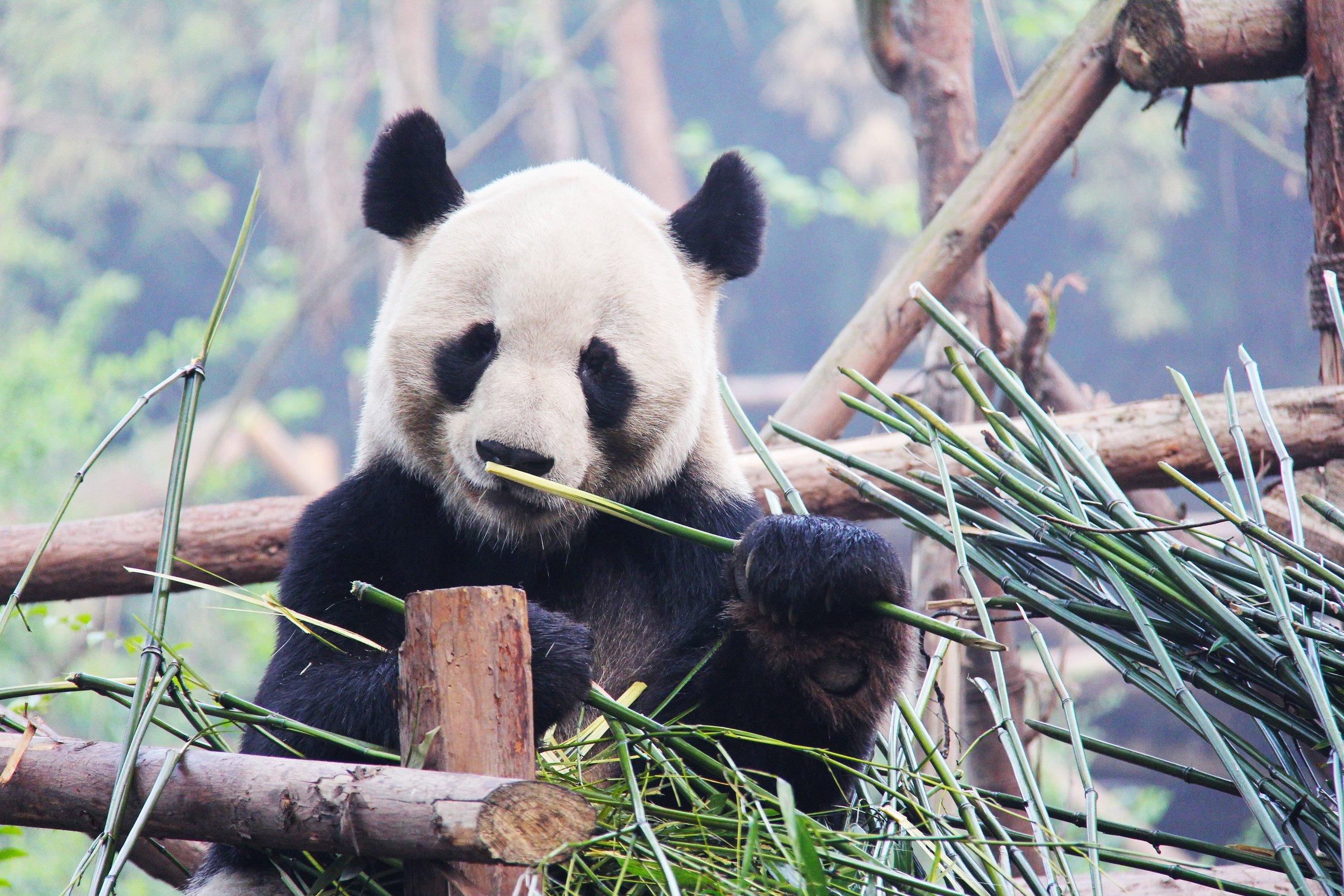 Bamboo is the panda's main source of nourishment.